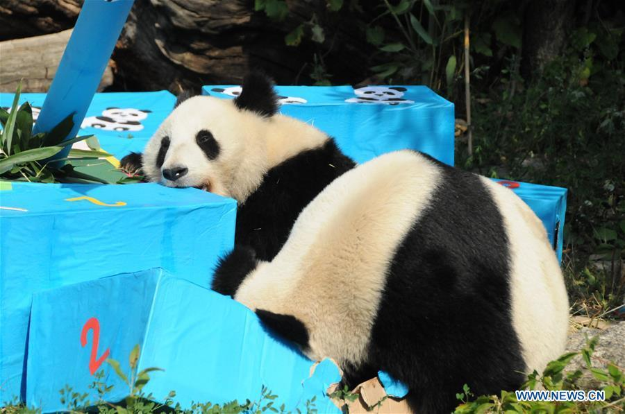 Giant panda Fu Ban (Rear) and its mother Yang Yang are seen with gift packages at the Schonbrunn Zoo in Vienna, Austria, on Aug. 7, 2018. The twin pandas Fu Feng and Fu Ban celebrated their second birthday party with their mother on Tuesday by receiving birthday gifts, packages of potatoes, carrots and special bamboo shoots. (Xinhua/Liu Xiang)