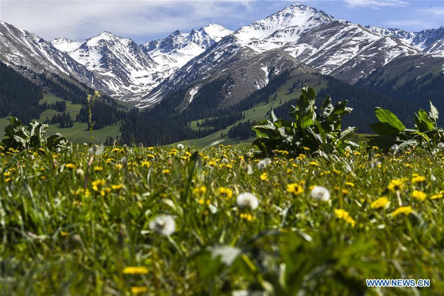 Photo taken on the Narat grassland shows the snow-covered mountains in Xinyuan County, northwest China\'s Xinjiang Uygur Autonomous Region, May 25, 2018. China\'s westernmost Xinjiang Uygur Autonomous Region welcomed a record high of 107 million tourists in 2017, up 32.4 percent year on year. In addition, tourists spent over 182 billion yuan (28.4 billion U.S. dollars) in Xinjiang last year, 30 percent more than in 2016. (Xinhua/Hu Huhu)