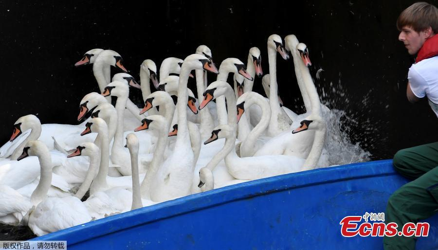 Swans sit in boats as they were caught at Hamburg\'s inner city lake Alster August 7, 2018. Due to hot weather the swans are collected from waterways around the northern city of Hamburg, Germany, and taken to quarters where they usually spend the winter. (Photo/Agencies)