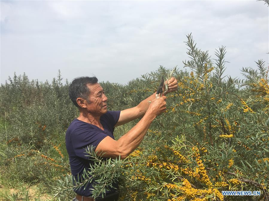 Forestry manager Deng Shengli works amid sea buckthorn at the Kubuqi Desert, north China\'s Inner Mongolia Autonomous Region, Aug. 1, 2018. Kubuqi, the seventh largest desert in China, is a good example of China\'s success in alleviating desertification. About 6,460 square kilometers of the Kubuqi desert has been reclaimed in the last 30 years. (Xinhua/Zhang Shanchen)