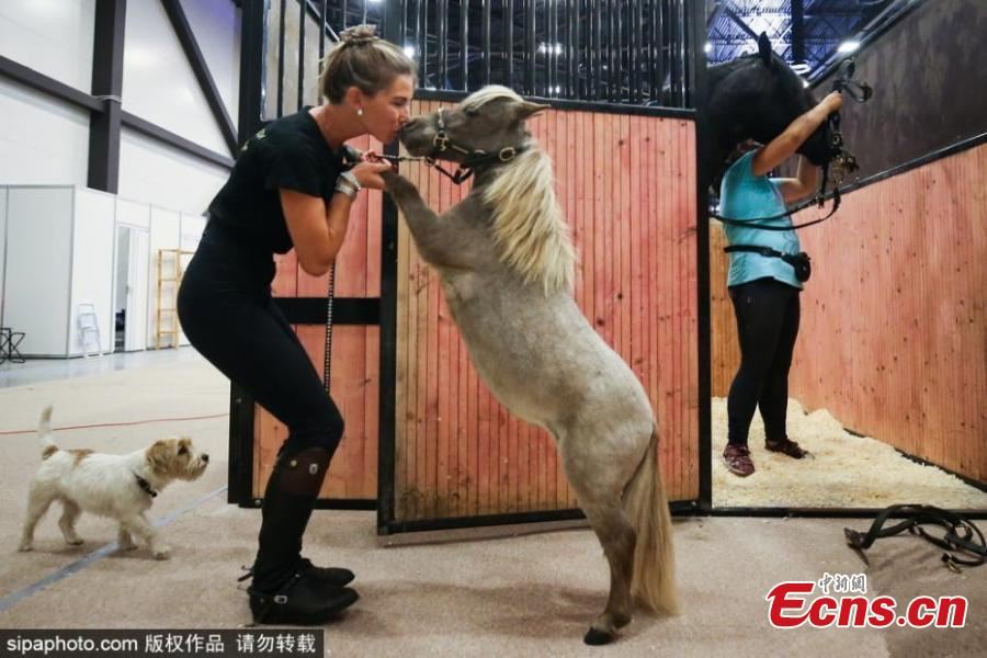 Gulliver, the world\'s smallest horse, at the 20th Hipposphere International Equestrian Exhibition at the Expoforum Convention and Exhibition Centre in St Petersburg, Russia, Aug. 8, 2018. The height at the withers of the horse born to a couple of American miniature horses at the Hidalgo pony farm, is 49 cm (19.29 in). (Photo/Agencies)