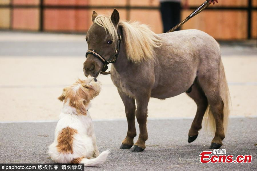 Gulliver, the world\'s smallest horse, plays with a puppy at the 20th Hipposphere International Equestrian Exhibition at the Expoforum Convention and Exhibition Centre in St Petersburg, Russia, Aug. 8, 2018. The height at the withers of the horse born to a couple of American miniature horses at the Hidalgo pony farm, is 49 cm (19.29 in). (Photo/Agencies)