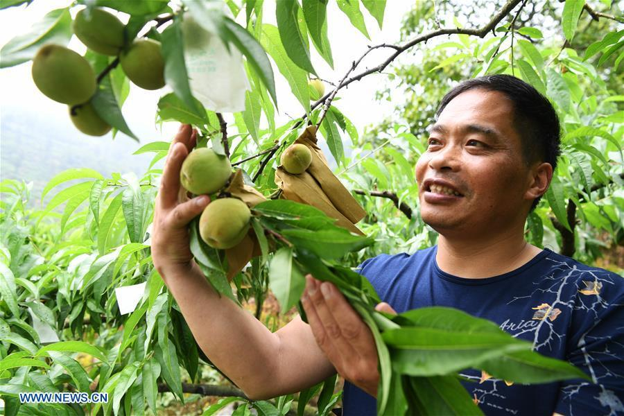 Shen Jianzhong checks the condition of peaches at a planting base in the Wulong District of Chongqing, southwest China, June 15, 2018. Shen Jianzhong, a 47-year-old villager of Fazi Village, developed a desertification-tolerant peach variety and helped villagers to get rid of poverty. (Xinhua/Wang Quanchao)