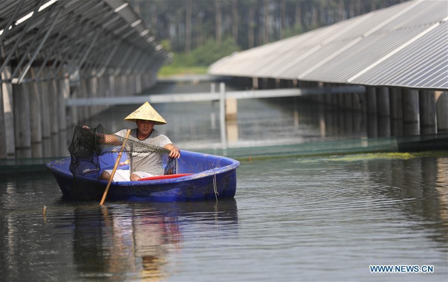 A villager catches crayfishes in a fish pond covered by photovoltaic power panel in Yintu Township of Jinhu County, east China\'s Jiangsu Province. (Xinhua/Li Yuze)