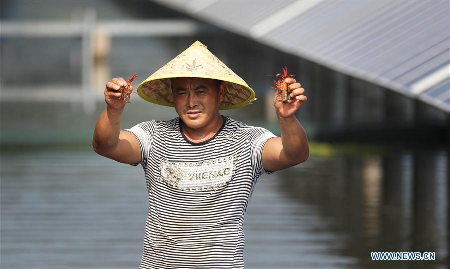 A villager present crayfishes cultured from fish pond covered by photovoltaic power panel in Yintu Township of Jinhu County, east China\'s Jiangsu Province. (Xinhua/Li Yuze)