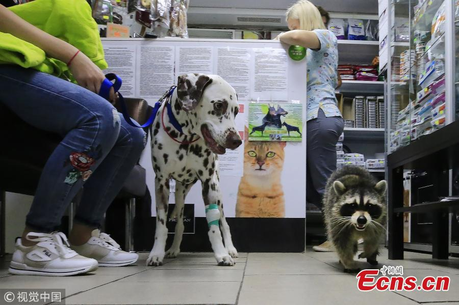 A dog and Yesha the Raccoon at Alexei Krotov\'s animal hospital, Rostov-on-Don, Russia, Aug. 2, 2018. The raccoon is considered an employee by the clinic\'s staff as it greets people at the entrance and helps to bring new clients. (Photo/VCG)