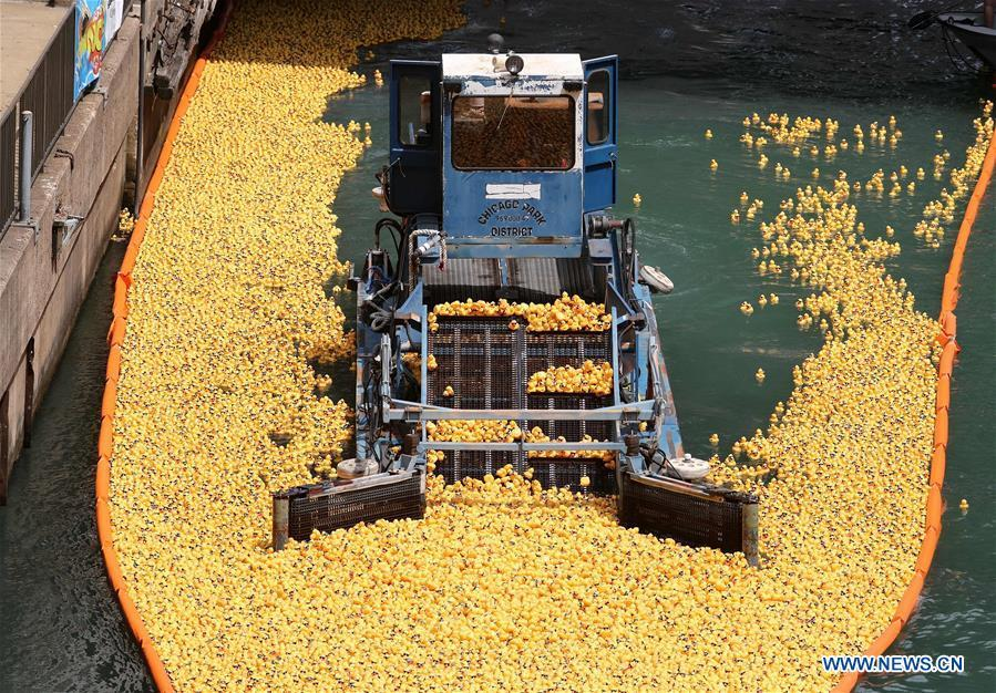 Rubber ducks float down the Chicago River during the 13th Annual Chicago Ducky Derby in Chicago, the United States, Aug. 9, 2018. Derby organizers dropped about 60,000 rubber ducks into the Chicago river on Thursday to start the Rubber Ducky Derby this year, which helps raise money for Special Olympics Illinois. (Xinhua/Wang Ping)