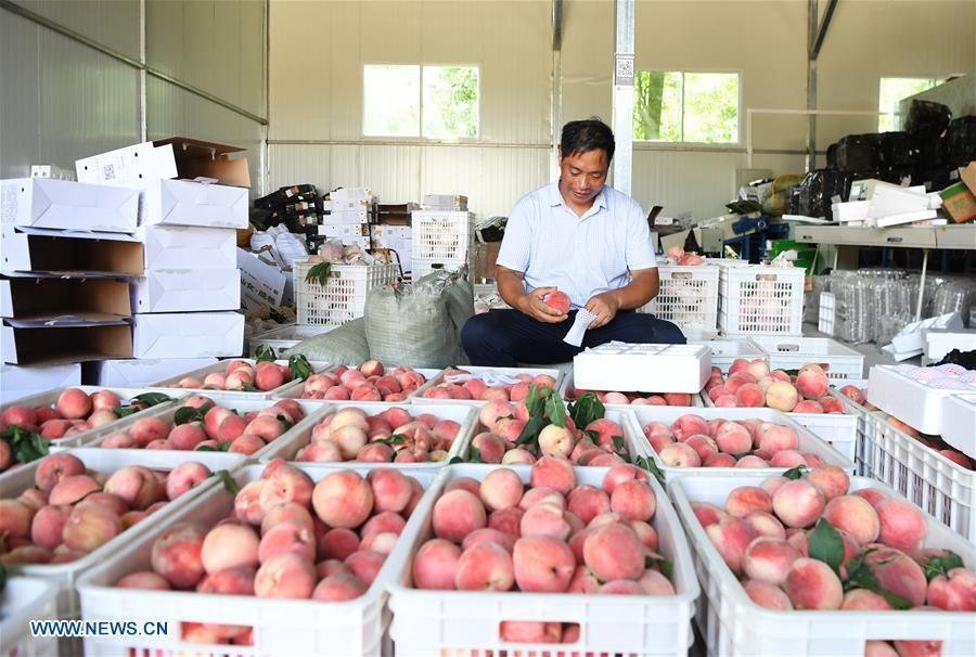 Shen Jianzhong selects fresh peaches at a planting base in the Wulong District of Chongqing, southwest China, Aug. 9, 2018. Shen Jianzhong, a 47-year-old villager of Fazi Village, developed a desertification-tolerant peach variety and helped villagers to get rid of poverty. (Xinhua/Wang Quanchao)