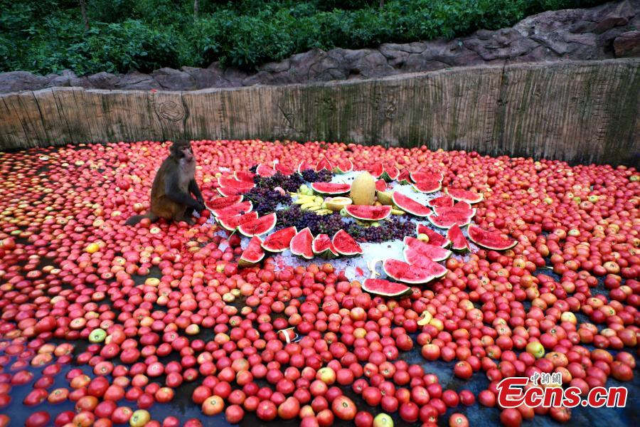 Macaque monkeys enjoy icy watermelons, bananas and other fruit at Wulongkou nature reserve in Jiyuan County, Central China\'s Henan Province, Aug. 9, 2018, as temperatures reached 37 degrees centigrade. The natural reserve is home to 3,000 macaques. (Photo: China News Service/Wang Zhongju)