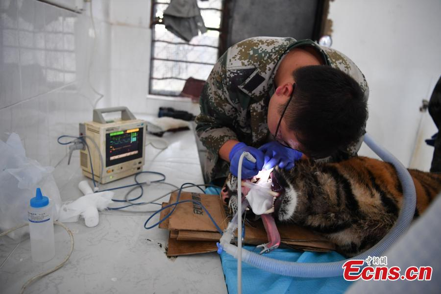 A veterinarian cleans the teeth of a one-year-old tiger under anesthesia at a zoo in Kunming City, Southwest China's Yunnan Province, Aug. 9, 2018. (Photo: China News Service/Liu Ranyang)