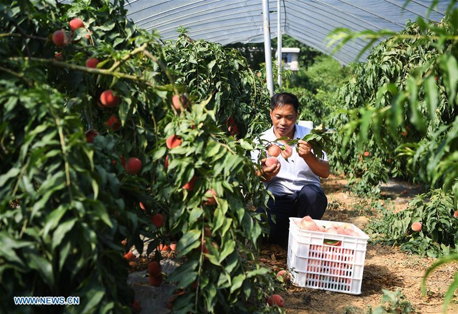 Shen Jianzhong picks peaches at a planting base in the Wulong District of Chongqing, southwest China, Aug. 9, 2018. Shen Jianzhong, a 47-year-old villager of Fazi Village, developed a desertification-tolerant peach variety and helped villagers to get rid of poverty. (Xinhua/Wang Quanchao)