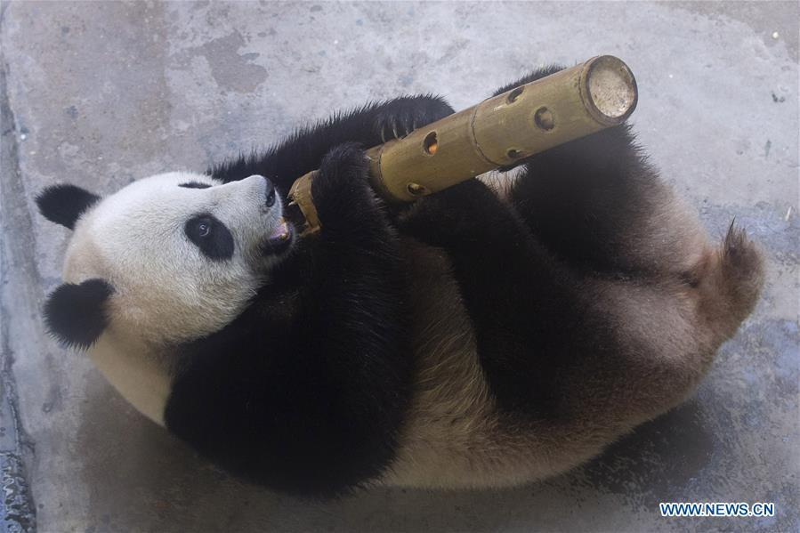 A giant panda twin enjoys itself in an air-conditioned room at the Nanjing Hongshan Forest Zoo in Nanjing, capital of east China\'s Jiangsu Province, Aug. 10, 2018. Staff workers at the zoo celebrated the 3rd birthday anniversary for the female giant panda twins \
