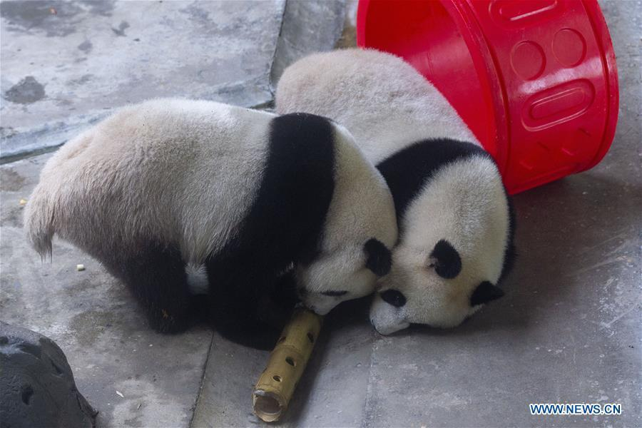 Giant panda twins Hehe and Jiujiu enjoy themselves in an air-conditioned room at the Nanjing Hongshan Forest Zoo in Nanjing, capital of east China\'s Jiangsu Province, Aug. 10, 2018. Staff workers at the zoo celebrated the 3rd birthday anniversary for the female giant panda twins \