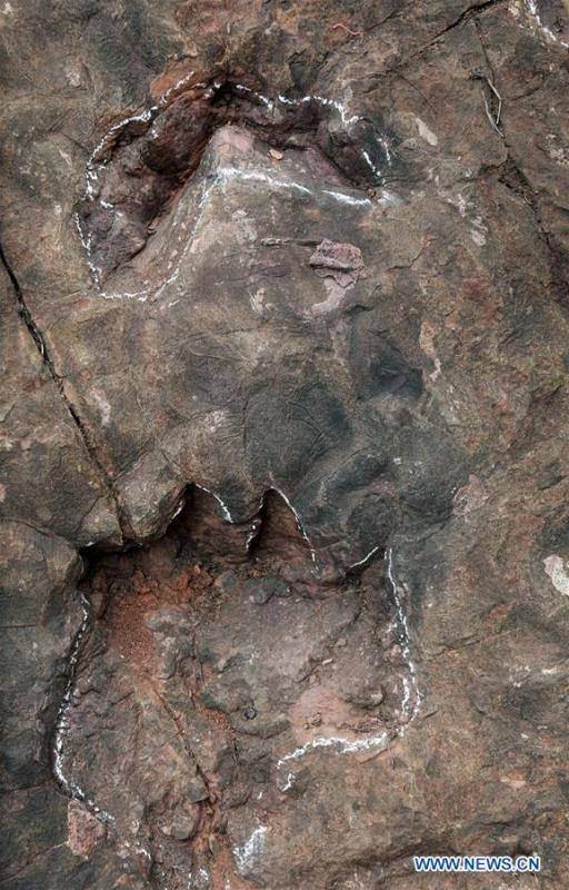 Photo taken on Aug. 11, 2017 shows dinosaur footprints discovered at the construction site of a wine factory in Maotai Township, southwest China\'s Guizhou Province. A research team said on Aug. 10, 2018 that they had discovered at least 250 dinosaur footprints in southwest China\'s Guizhou Province. The footprints, scattered over an area of about 350 square meters, were found at the construction site of a wine factory in Maotai Township. Experts from China, the United States and Germany have said they are Sauropod footprints from the early Jurassic period. (Xinhua)