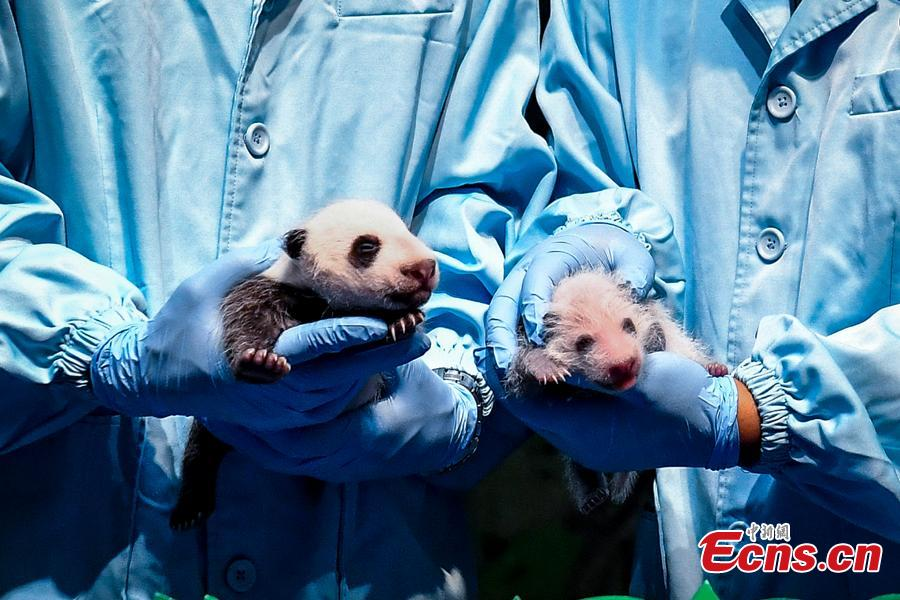 Experts show the results of examination for newborn giant pandas Longzai (L)and Tingzai (R) at the Chimelong Safari Park in Guangzhou, south China\'s Guangdong Province, Aug. 12, 2018. Longzai was born on July 12 and Tingzai on July 29. The two giant panda cubs took a full physical examination on Sunday in Guangzhou. (Photo: China News Service)