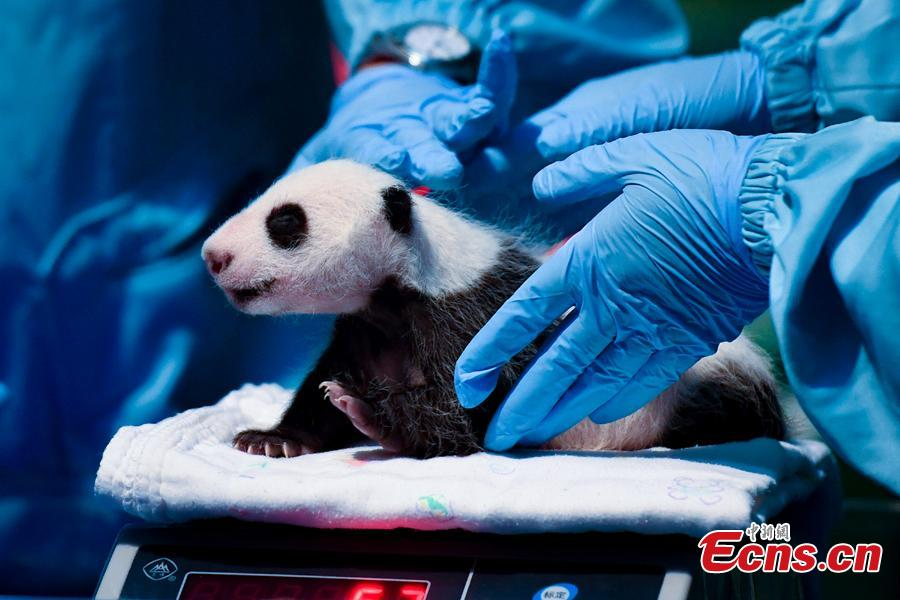 An expert examines the newborn giant panda Longzai at the Chimelong Safari Park in Guangzhou, south China\'s Guangdong Province, Aug. 12, 2018.  Longzai was born on July 12 and Tingzai on July 29. The two giant panda cubs took a full physical examination on Sunday in Guangzhou. (Photo: China News Service)