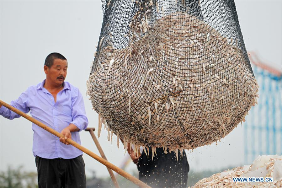 Fishermen load shortjaw tapertail anchovies fish in the Hongze Lake area of Huai\'an City, east China\'s Anhui Province, Aug. 12, 2018. (Xinhua/Wang Kaicheng)
