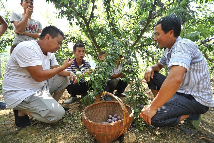 Farmers discuss selling plums under a plum tree at Hongxing Village of Pingzheng Township in Zunyi, southwest China\'s Guizhou Province, Aug. 12, 2018 (Xinhua/Liu Xu)