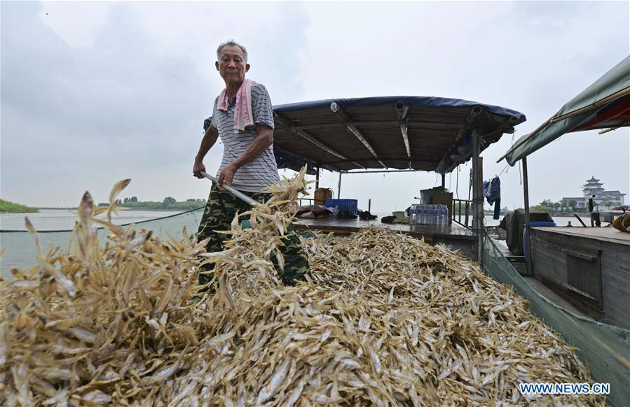 A fisherman loads shortjaw tapertail anchovies fish onto a boat in the Hongze Lake area of Huai\'an City, east China\'s Anhui Province, Aug. 12, 2018. (Xinhua/Chen Liang)