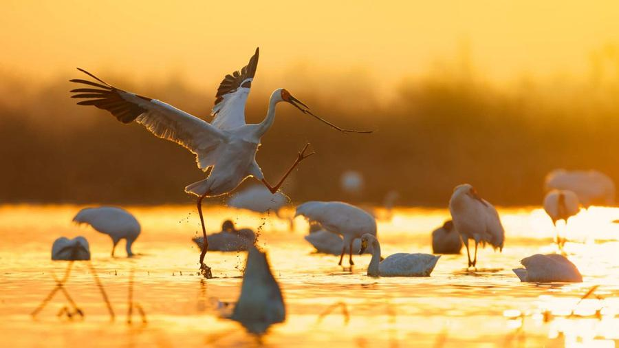 White cranes are seen in the Poyang Lake area in Nanchang, Jiangxi Province. (Photo by Zhou Haiyan/for China Daily)