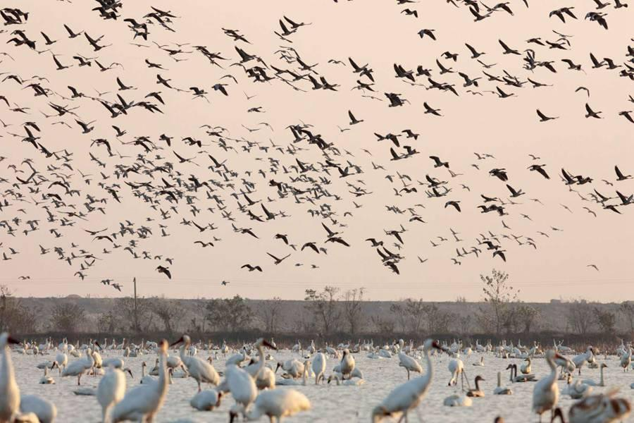 Several thousand white cranes are seen in the Poyang Lake area in Nanchang, Jiangxi Province. [(Photo by Zhou Haiyan/for China Daily)