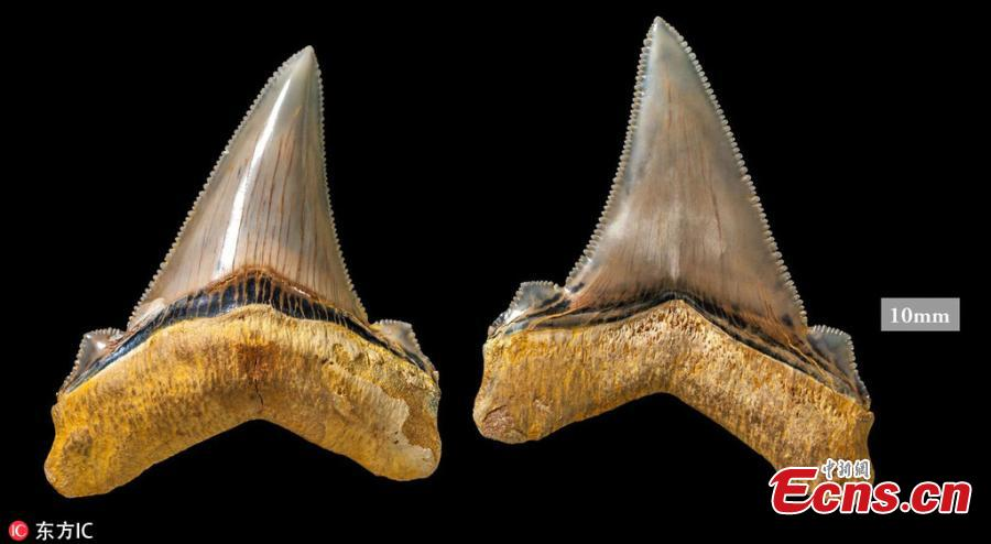 Australian fossil enthusiast Phillip Mullaly has made an incredible discovery while combing a Victoria beach- a part of the fossilized chomper from species of \