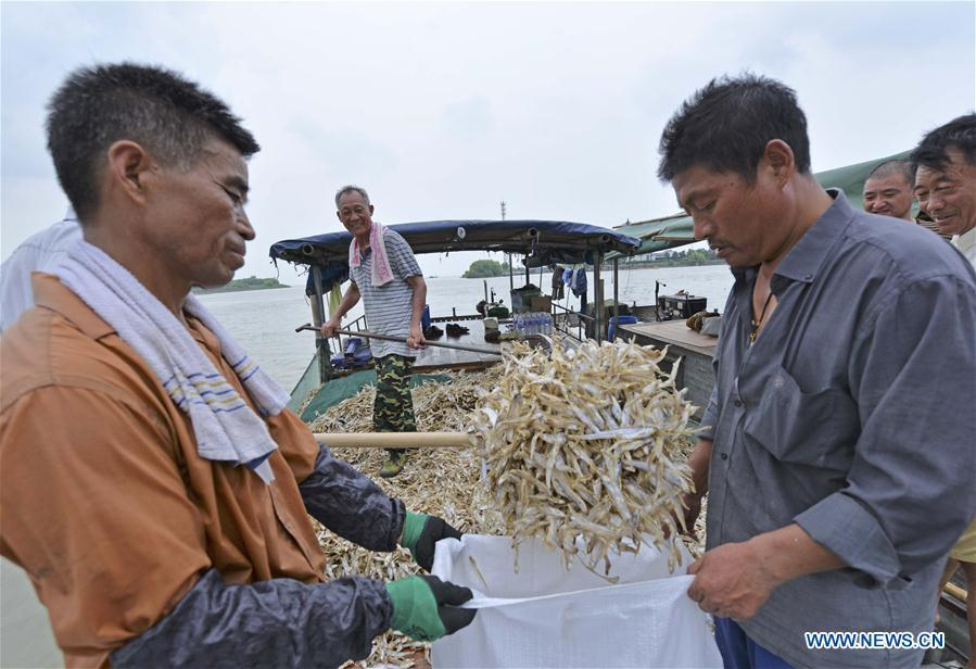 Fishermen load shortjaw tapertail anchovies in the Hongze Lake area of Huai\'an City, east China\'s Anhui Province, Aug. 12, 2018. (Xinhua/Wang Kaicheng)