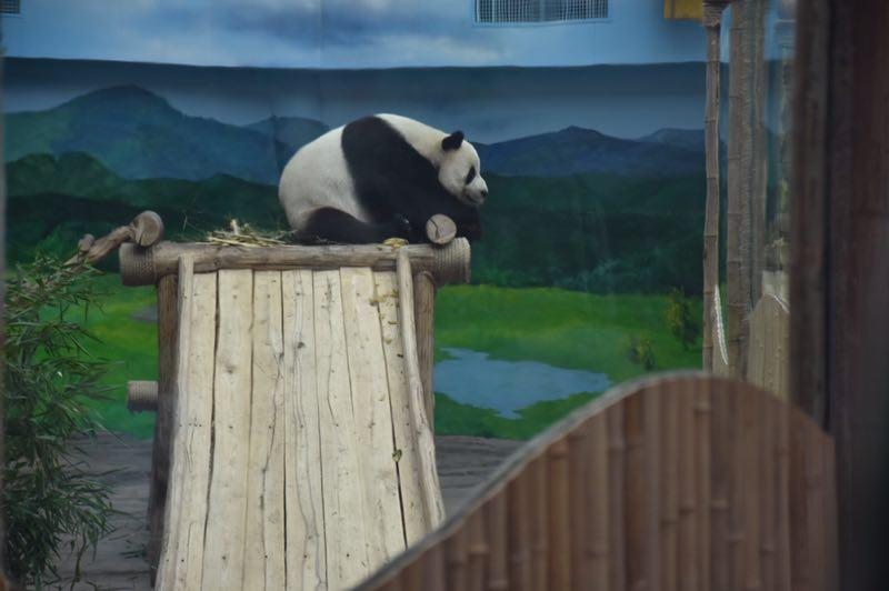 The giant panda Sijia celebrated its 12th birthday with more than 2,000 fans from all around the country at the Yabuli ski resort in Northeast China\'s Heilongjiang Province on Aug. 12, 2018.  (Photo provided to chinadaily.com.cn)