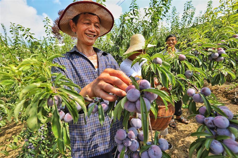 Farmers pick plums at Hongxing Village of Pingzheng Township in Zunyi, southwest China\'s Guizhou Province, Aug. 12, 2018 (Xinhua/Liu Xu)