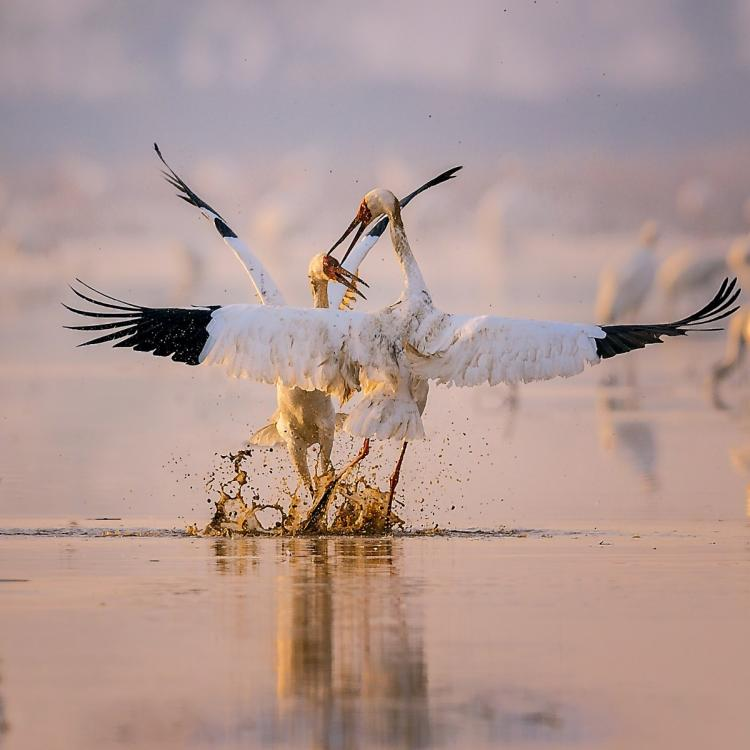 Two Siberian white cranes are among the several thousand that migrated in December on their annual journey to the Poyang Lake area in Nanchang, Jiangxi Province. (Photo by Zhou Haiyan/for China Daily)