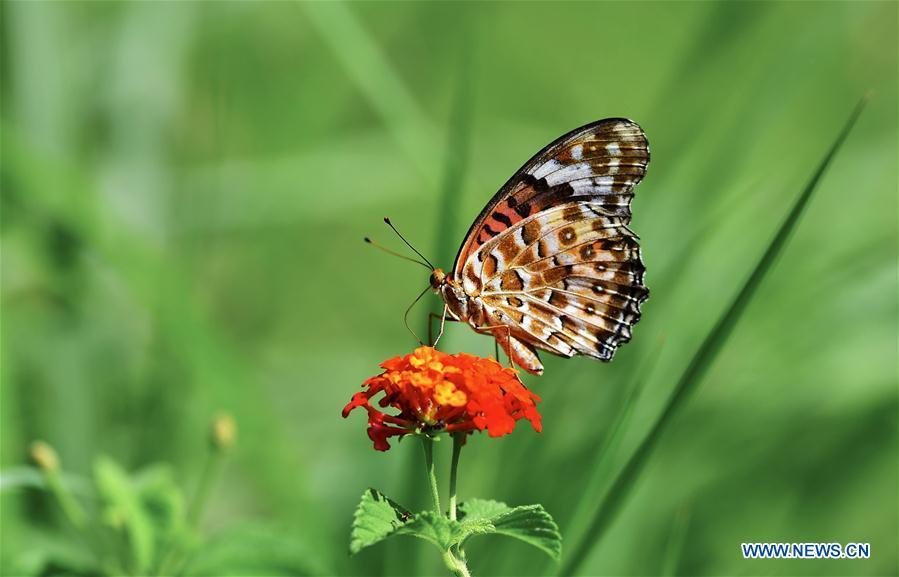 A butterfly stops at lantana camara flower at Wenquan Park in Fuzhou, capital of southeast China\'s Fujian Province, Aug. 12, 2018. (Xinhua/Mei Yongcun)