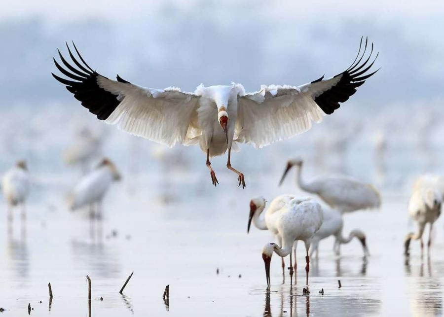 White cranes are seen in the Poyang Lake area in Nanchang, Jiangxi Province. [Photo by Zhou Haiyan/for China Daily]