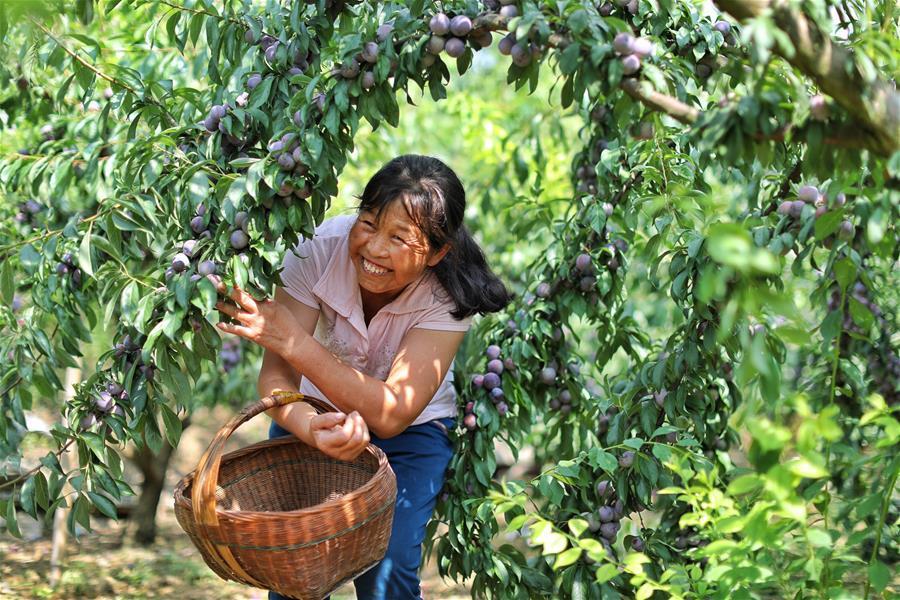 A farmer picks plums at Hongxing Village of Pingzheng Township in Zunyi, southwest China\'s Guizhou Province, Aug. 12, 2018 (Xinhua/Liu Xu)
