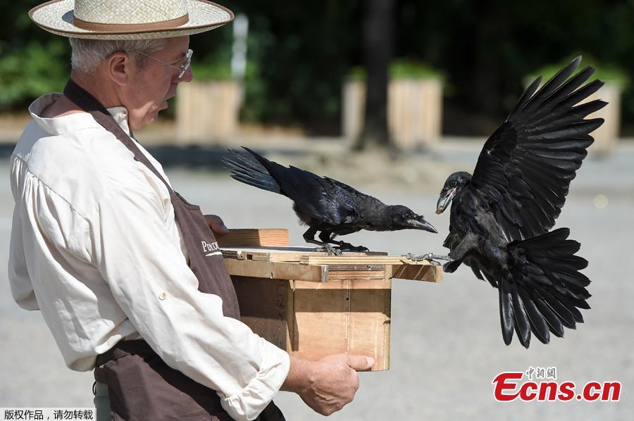 Christophe Gaborit, in charge of the falconry at Le Puy du Fou theme park looks at two of his crows, trained to collect cigarette ends and wastes on the parking of Le Puy du Fou, in Les Epesses, western France on August 14, 2018. Six crows specially trained to pick up cigarette ends and rubbish were put to work last week at a French historical theme park. (Photo/Agencies)