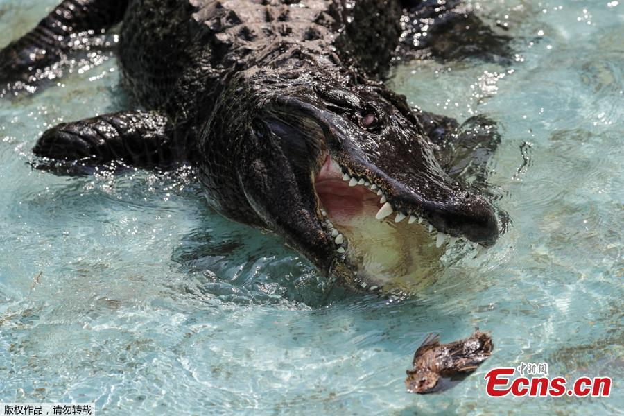 An alligator named Muja eats a quail in its enclosure in Belgrade\'s Zoo, Serbia, August 14, 2018. Muja is officially the oldest American alligator in the world living in captivity. He was brought to Belgrade from Germany in 1937, a year after the opening of the Zoo. Muja survived three bombings of Belgrade, the Second World War and all hardships the Zoo went through. (Photo/Agencies)