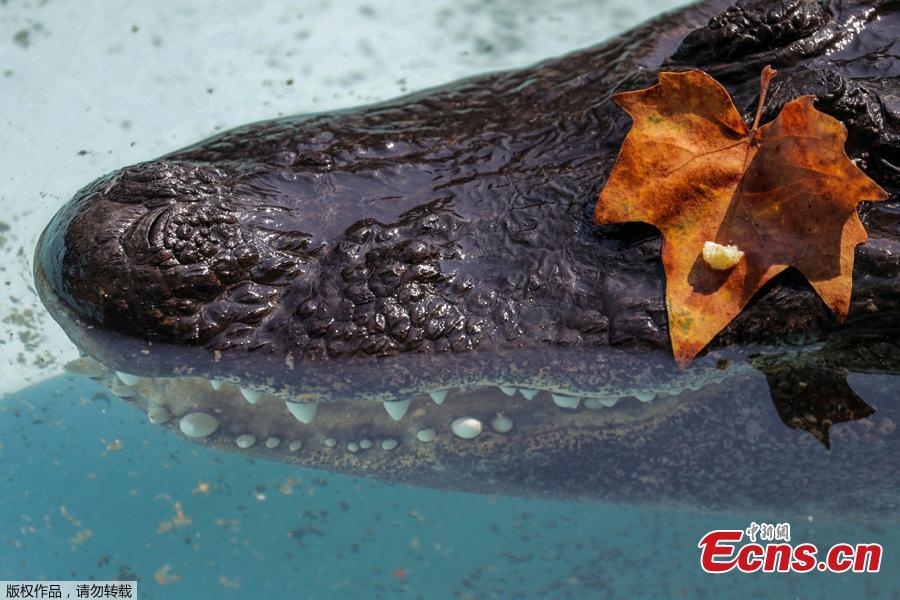 An alligator named Muja rests in its enclosure in Belgrade\'s Zoo, Serbia, August 14, 2018. Muja is officially the oldest American alligator in the world living in captivity. He was brought to Belgrade from Germany in 1937, a year after the opening of the Zoo. Muja survived three bombings of Belgrade, the Second World War and all hardships the Zoo went through. (Photo/Agencies)