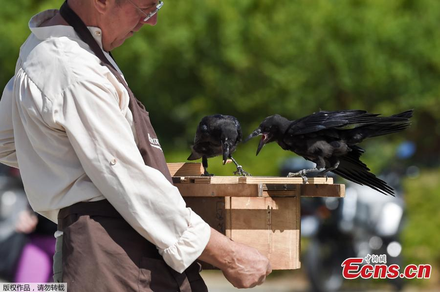 Christophe Gaborit, in charge of the falconry at Le Puy du Fou theme park looks at two of his crows, trained to collect cigarette ends and wastes on the parking of Le Puy du Fou, in Les Epesses, western France on August 14, 2018. Six crows specially trained to pick up cigarette ends and rubbish were put to work last week at a French historical theme park.(Photo/Agencies)