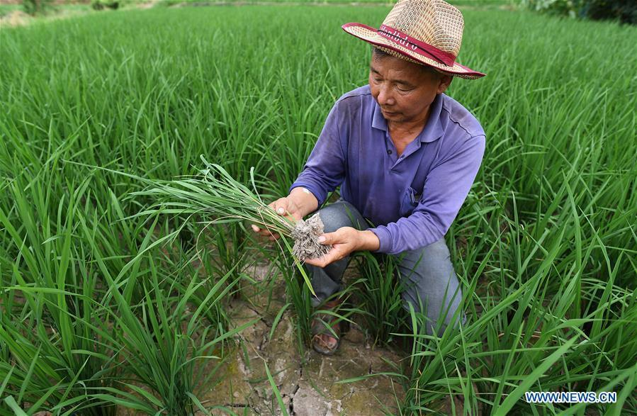 A farmer checks rice shoots in Yinshan Village of Liuli Township in Jinxi County, east China\'s Jiangxi Province, Aug. 14, 2018. Some parts of Jiangxi Province have suffered from drought for days due to the persistent summer heat and lack of rainfall. (Xinhua/Wan Xiang)