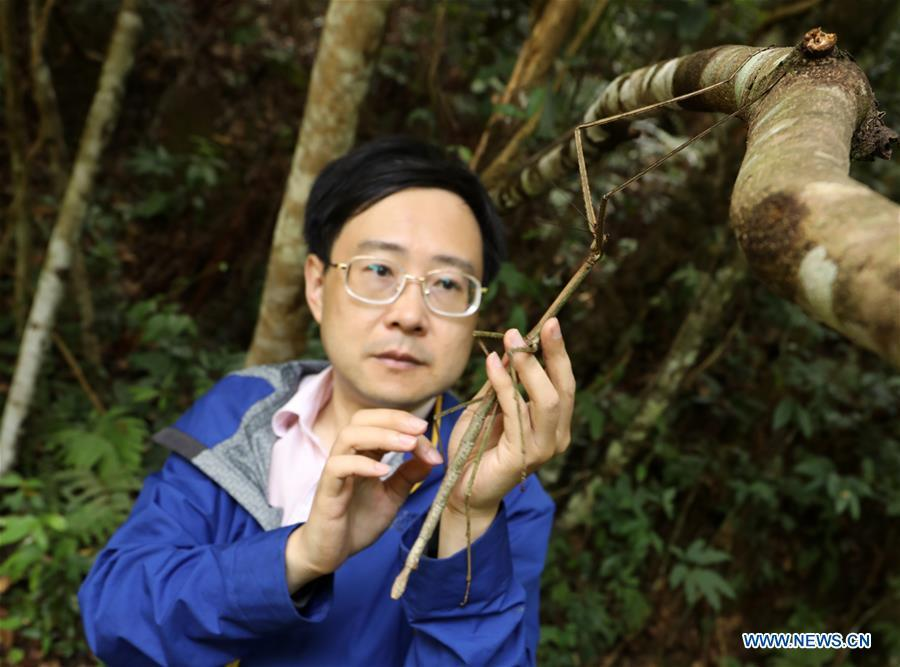 Chinese entomologist Zhao Li observes a wild stick insect in Dayaoshan state-level nature reserve in south China\'s Guangxi Zhuang Autonomous Region, July 31, 2018. Fifteen larvas of stick insects bred by the Insect Museum of West China were released to the wild on July 31. The Museum successfully bred a 64-cm-long stick insect, the largest insect in the world in 2017. (Xinhua)