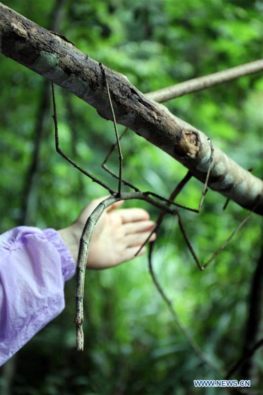 A wild stick insect is seen in Dayaoshan state-level nature reserve in south China\'s Guangxi Zhuang Autonomous Region, July 31, 2018. Fifteen larvas of stick insects bred by the Insect Museum of West China were released to the wild on July 31. The Museum successfully bred a 64-cm-long stick insect, the largest insect in the world in 2017. (Xinhua)