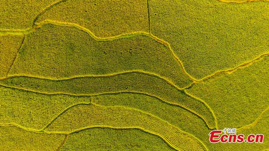 An aerial view of paddy fields in Xuyong County, Southwest China's Sichuan Province, Aug. 16, 2018. The paddy fields stretch for several miles, occasionally separated by roads, and form a spectacular scene. (Photo: China News Service/Li Xin)