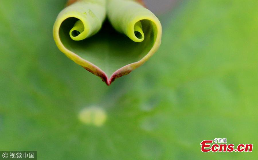 <?php echo strip_tags(addslashes(File photo shows a heart-shaped leaf. (Photo/VCG))) ?>