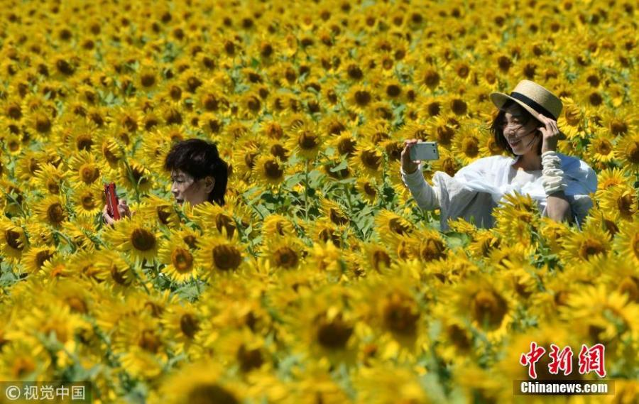 About two million sunflowers were planted in Mashiko-machi, a town north of Tokyo, Japan for Sunflower Festival, which attracts many tourists on August 17, 2018. (Photo/VCG)