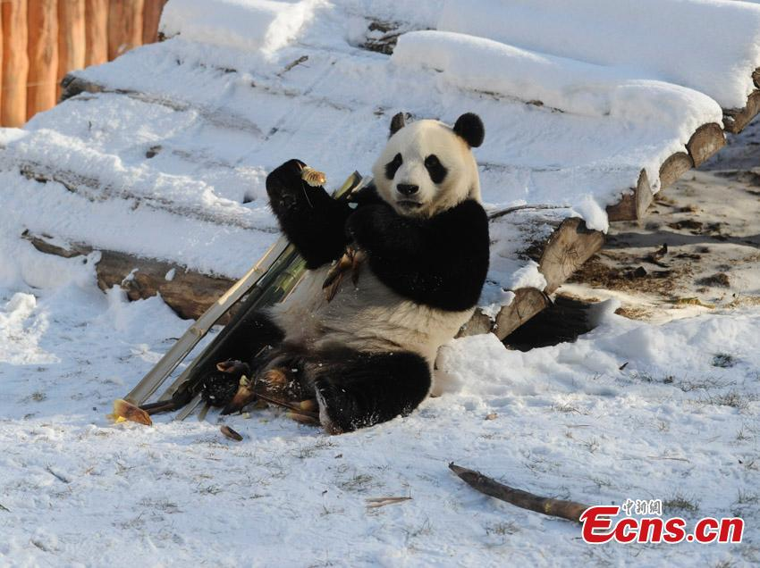 File photo of one of two giant pandas given new homes in Jilin Province in 2015. Jiajia and Mengmeng were the first giant pandas to live in a high-altitude habitat in China after they were moved from Sichuan to the Jilin Wild Life Rescue and Breeding Center in Changchun in 2015. Over the past three years, the two pandas have adapted to the new environment in Changchun. They have now been transported to Dujiangyan base in Sichuan province for a breeding project next year. (Photo: China News Service/Zhang Yao)