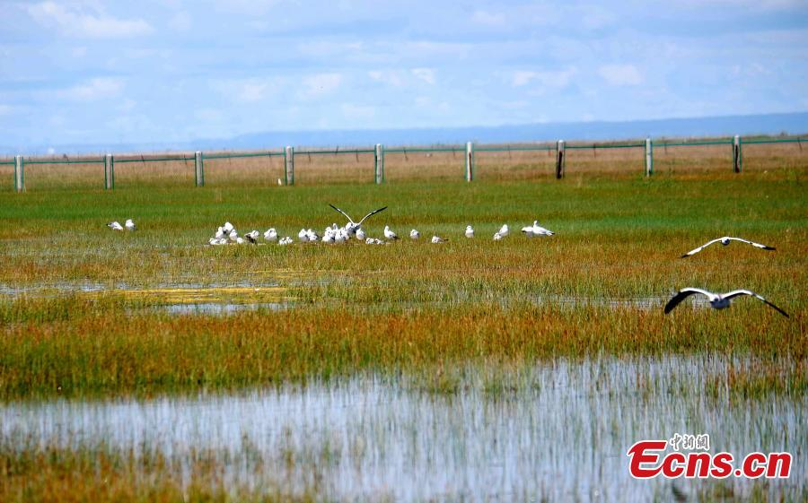 Black-headed gulls are seen at the Fairy Bay Wetland in Gangca County, on the northern shore of Qinghai Lake in Qinghai Province, Aug. 18, 2018. According to local authorities, more than 200,000 migratory birds of 92 species breed at the lake each year. (Photo: China News Service/Li Juan)