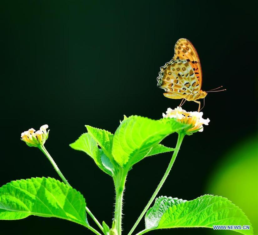 A butterfly flies among flowers at the Wenquan Park in Fuzhou, capital of southeast China\'s Fujian Province, Aug. 18, 2018. (Xinhua/Mei Yongcun)