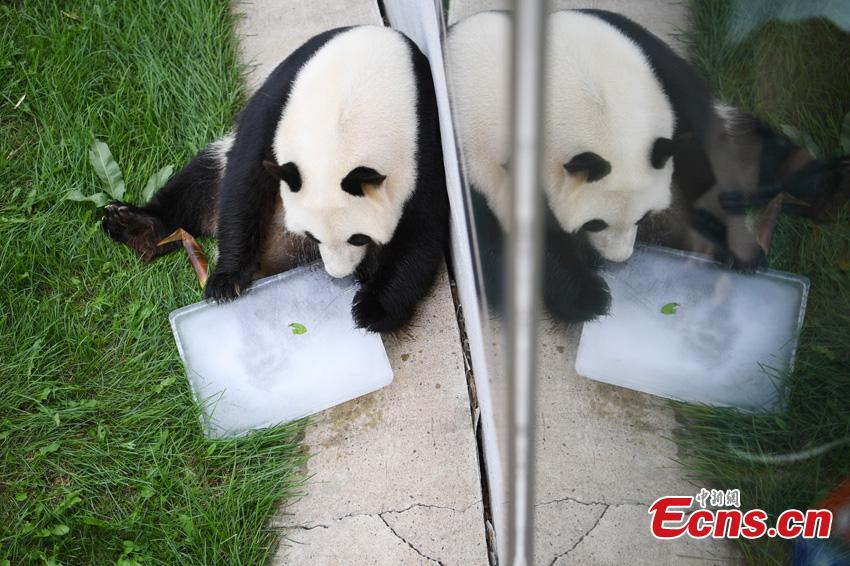 File photo of one of two giant pandas given new homes in Jilin Province in 2018. Jiajia and Mengmeng were the first giant pandas to live in a high-altitude habitat in China after they were moved from Sichuan to the Jilin Wild Life Rescue and Breeding Center in Changchun in 2015. Over the past three years, the two pandas have adapted to the new environment in Changchun. They have now been transported to Dujiangyan base in Sichuan province for a breeding project next year. (Photo: China News Service/Zhang Yao)