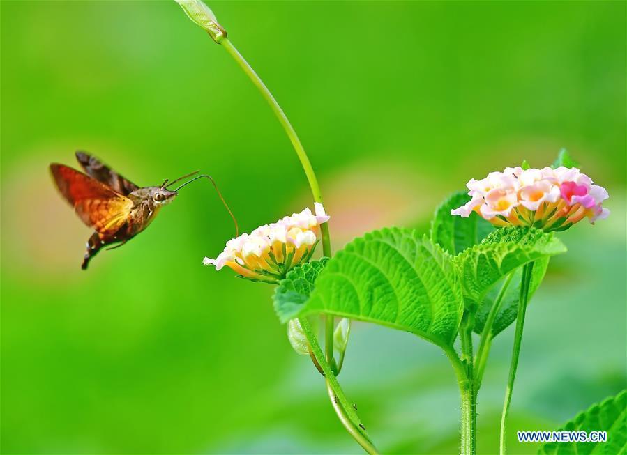A moth flies among flowers at the Wenquan Park in Fuzhou, capital of southeast China\'s Fujian Province, Aug. 18, 2018. (Xinhua/Mei Yongcun)