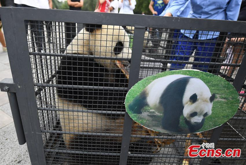 One of two giant pandas given new homes in Jilin Province is transported to Changchun Airport in Jilin Province, Aug. 20, 2018. Jiajia and Mengmeng were the first giant pandas to live in a high-altitude habitat in China after they were moved from Sichuan to the Jilin Wild Life Rescue and Breeding Center in Changchun in 2015. Over the past three years, the two pandas have adapted to the new environment in Changchun. They have now been transported to Dujiangyan base in Sichuan province for a breeding project next year. (Photo: China News Service/Zhang Yao)