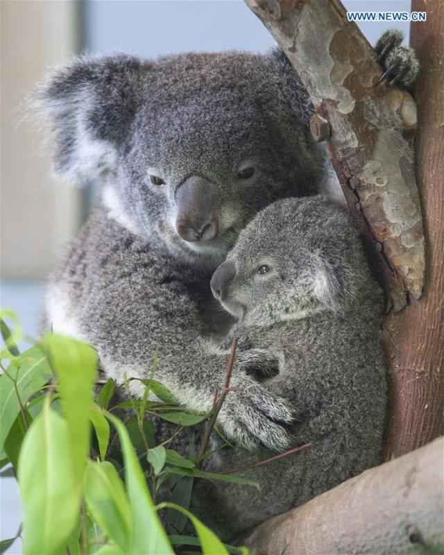 Photo taken on Aug. 20, 2018 shows the baby koala and its parent at Nanjing Hongshan Forest Zoo in Nanjing, east China\'s Jiangsu Province. A baby koala born in Nanjing Hongshan Forest Zoo in east China\'s Jiangsu Province made its first public appearance on Monday. (Xinhua/Su Yang)